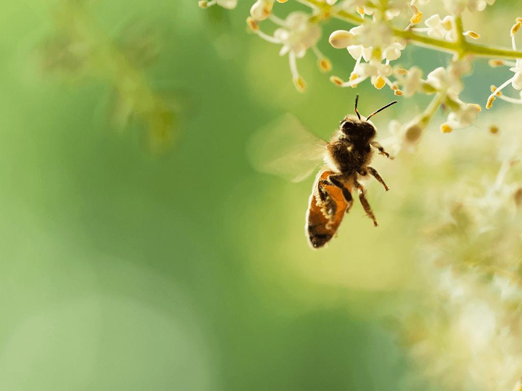 Arı sokmasına iyi gelen doğal yöntemler