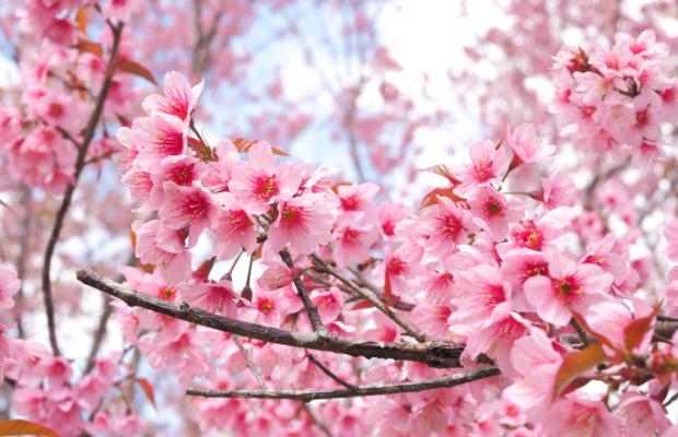 Japonya'da Kiraz Çiçeği Zamanı