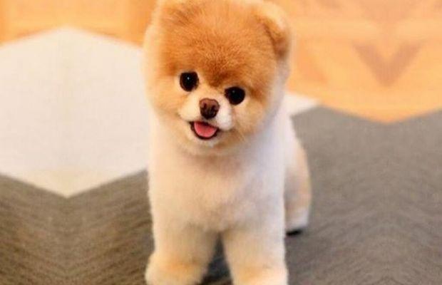 Boo >> Dunyanin En Sevimli Kopegi Pomeranian Boo Ile Tanisin Kadin Com